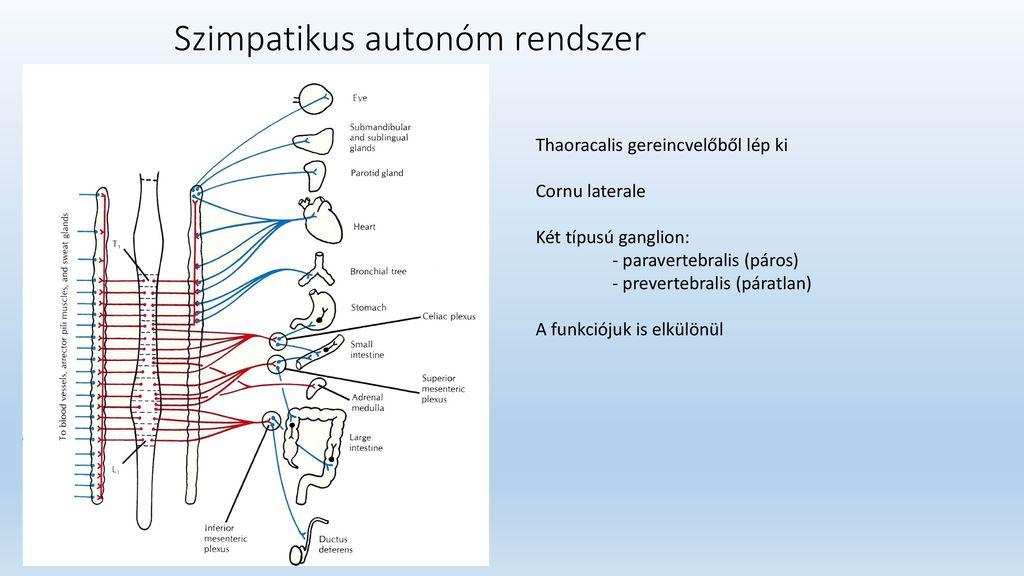 szimpatikus rendszer és magas vérnyomás eper hipertónia