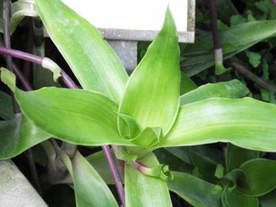 Arany bajusz - használat csoda növény