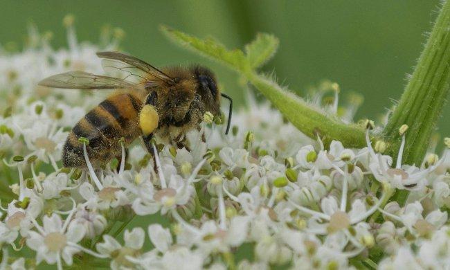 mezei méh és magas vérnyomás ne nyomja meg a magas vérnyomást